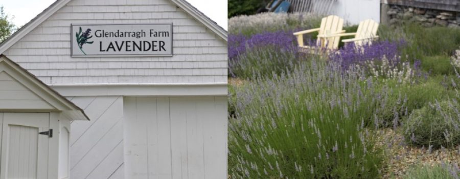 glendarragh lavender farm in maine